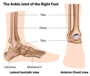 ankle joint diagram