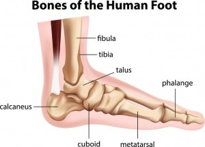 diagram showing the bones of human foot