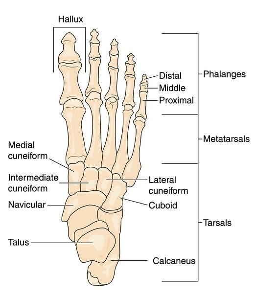 Foot Bones Diagram Extend Orthopedics